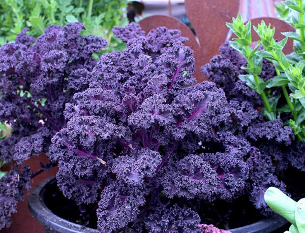 kohl-pflanzen-lila-gekraeuselt-topf-garten-tipps