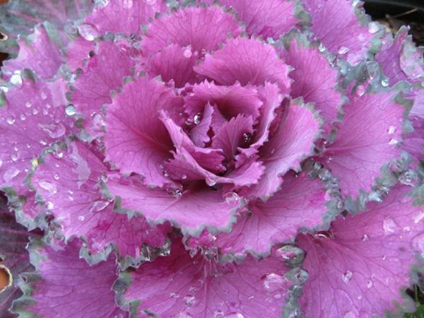 pflanzen-idee-kohl-garten-gemuese-beet-rosa-lila